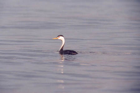 Grebe at Walker Lake, NV
